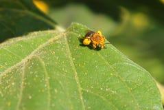 Abeja cargada con polen Imágenes de archivo libres de regalías
