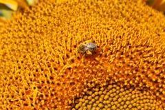 Abeja cargada con polen en el girasol Foto de archivo