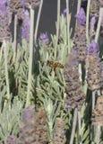Abeja cerca de las flores púrpuras Foto de archivo libre de regalías