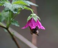 Abeja común de la carda mechera en flores Fotografía de archivo libre de regalías
