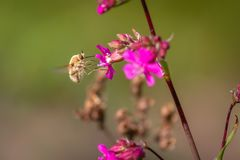 Abeja - comandante del bombylius en fondo verde Polinice la flor La abeja con la probóscide larga vuela en la flor Imagen de archivo libre de regalías