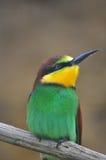Abeja-comedor Foto de archivo libre de regalías