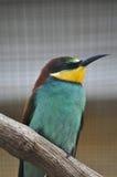 Abeja-comedor Imagen de archivo libre de regalías