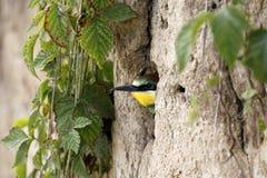Abeja-comedor/apiaster europeos coloridos del Merops Imagenes de archivo