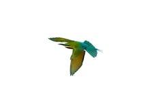 Abeja-comedor Azul-atado Imagenes de archivo