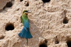 Abeja-comedor Azul-atado Fotos de archivo libres de regalías