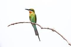 Abeja-comedor Azul-atado Imagen de archivo libre de regalías