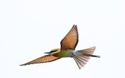 Abeja-comedor Azul-atado Foto de archivo libre de regalías