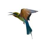 Abeja-comedor Azul-atado Foto de archivo