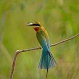 Abeja-comedor Azul-atado Fotografía de archivo
