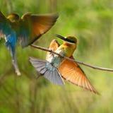 Abeja-comedor Azul-atado Fotos de archivo