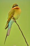 Abeja-comedor Azul-atado. Imágenes de archivo libres de regalías