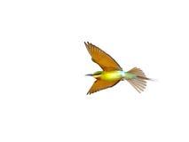 Abeja-comedor Azul-atado aislado en vuelo en el fondo blanco Imagen de archivo