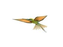 Abeja-comedor Azul-atado aislado en vuelo en el fondo blanco Fotos de archivo