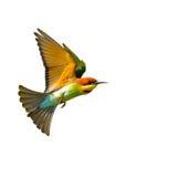 Abeja-comedor Azul-atado aislado en vuelo en el fondo blanco Foto de archivo libre de regalías