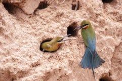 abeja-comedor Azul-atado (philippinus del Merops) Imagen de archivo libre de regalías