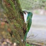 Abeja-comedor Azul-barbudo Fotos de archivo libres de regalías
