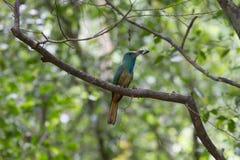 Abeja-comedor Azul-barbudo en la rama en naturaleza Fotografía de archivo