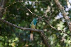 Abeja-comedor Azul-barbudo en la rama en naturaleza Fotos de archivo