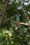 Abeja-comedor Azul-barbudo en la rama en naturaleza Imagen de archivo libre de regalías