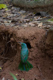 Abeja-comedor Azul-barbudo en la tierra en naturaleza Imagen de archivo