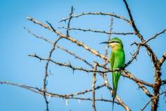 Abeja-comedor azul-cheeked en una rama Foto de archivo libre de regalías