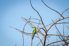 Abeja-comedor azul-cheeked que se sienta en una rama Foto de archivo libre de regalías