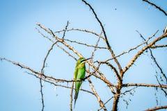 Abeja-comedor azul-cheeked que se sienta en una rama Imagen de archivo libre de regalías