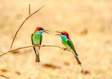 Abeja-comedor Azul-throated: Viridis del Merops Fotografía de archivo libre de regalías