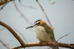 Abeja-comedor Blanco-Throated (albicollis del Merops) Fotografía de archivo libre de regalías