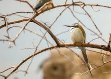 Abeja-comedor Blanco-Throated (albicollis del Merops) Fotos de archivo libres de regalías