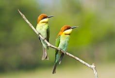 Abeja-comedor Castaña-dirigido, pájaro Fotografía de archivo libre de regalías