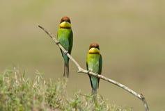 Abeja-comedor Castaña-dirigido, pájaro Imagenes de archivo