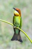 Abeja-comedor Castaña-dirigido, pájaro Imagen de archivo libre de regalías