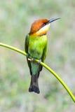 Abeja-comedor Castaña-dirigido, pájaro Foto de archivo libre de regalías