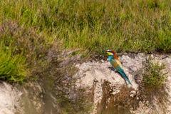 Abeja-comedor colorido europeo (apiaster del Merops) al aire libre Fotografía de archivo