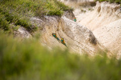 Abeja-comedor colorido europeo (apiaster del Merops) al aire libre Imagenes de archivo