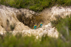 Abeja-comedor colorido europeo (apiaster del Merops) al aire libre Fotos de archivo libres de regalías