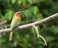 Abeja-comedor colorido que se sienta en una ramita Imágenes de archivo libres de regalías