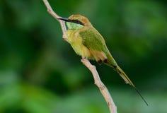 Abeja-comedor de Geen (orientalis del Merops) Foto de archivo libre de regalías