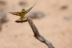 Abeja-comedor de Littlie que vuela para encaramarse para sentarse y para descansar Foto de archivo libre de regalías
