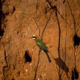 Abeja-comedor de pecho blanco Foto de archivo libre de regalías