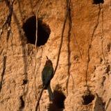 Abeja-comedor de pecho blanco Fotografía de archivo libre de regalías
