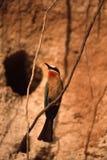 Abeja-comedor de pecho blanco Fotografía de archivo