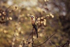 Abeja-comedor de pecho blanco, Botswana, África Fotografía de archivo libre de regalías