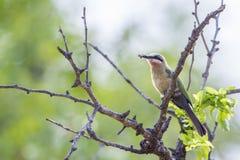 Abeja-comedor de pecho blanco en el parque nacional de Kruger, Suráfrica Imagen de archivo libre de regalías