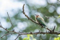 Abeja-comedor de pecho blanco en el parque nacional de Kruger, Suráfrica Fotografía de archivo