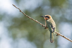 Abeja-comedor de pecho blanco en el parque nacional de Kruger, Suráfrica Fotos de archivo libres de regalías