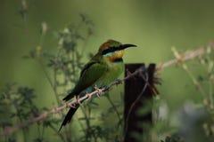 Abeja-comedor del arco iris Foto de archivo