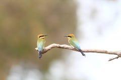 Abeja-comedor del arco iris Imágenes de archivo libres de regalías